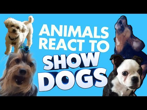 ANIMALS REACT TO SHOW DOGS | Global Road Entertainment