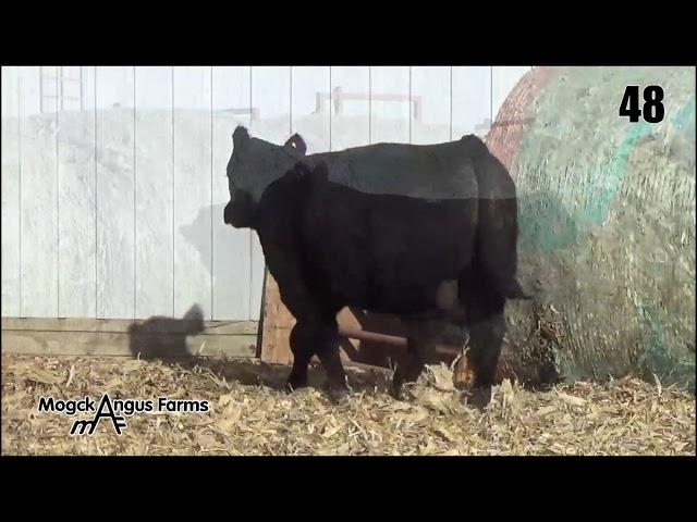 Mogck Angus Farms Lot 48