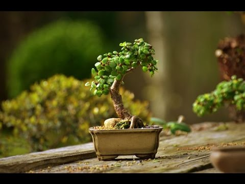 The Steps To Prune The Perfect Jade Bonsai Youtube