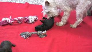 Akc Miniature Schnauzer Puppies For Sale From Dyer Farms