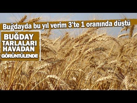 Adana'da Buğday Hasadı Başladı...