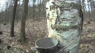 Jednoduchý způsob čerpání mízy - Birch sap
