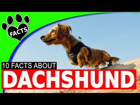 Most Popular German Dog Breeds Dachshund Fun Facts Weiner