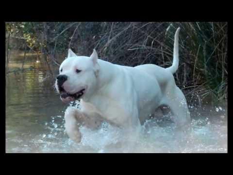 Pastor alemán vs Dogo argentino, peleas de perros