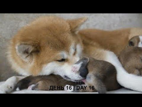 ЩЕНКИ #АКИТА ОНЛАЙН | #AKITA PUPPIES ONLINE | PET 犬 | DAY 16