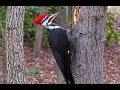 Kicauan Burung Pelatuk Bawang Gacor Nembak Masteran Cucak Ijo Murai Prenjak Anis Pleci  Mp3 - Mp4 Download