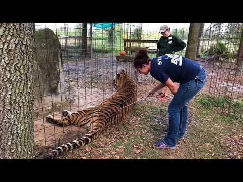 Tiger Scratches