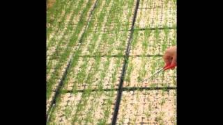 mavi ladin yetiştiriciliği,mavi ladin tohumu,mavi-ladin-tohumu-fiyatı,mavi-ladin- tohumu