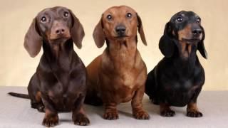 какие породы собак лучше заводить в квартире
