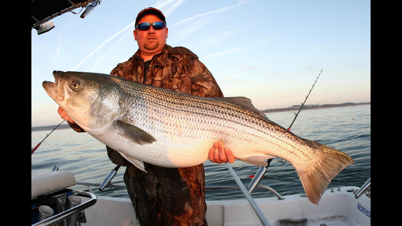 Striper fishing giant striped bass released absolute pig for Striper fish pictures