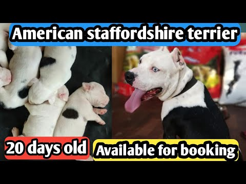20 Days Old American Staffordshire Terrier Available For Booking
