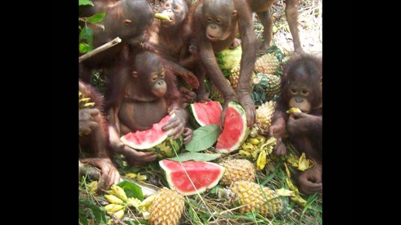 cancion el orangutan y la orangutana