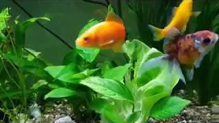 Золотые рыбки и сомики анциструсы: кормление салатом