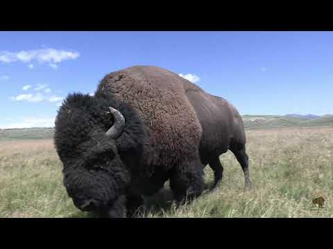 Yellowstone Bison Rut