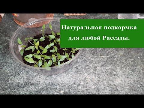 Кормите Рассаду Натуральной подкормкой для мощных плодов, приземистой рассады Хвалят все садоводы.