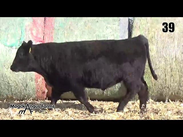 Mogck Angus Farms Lot 39