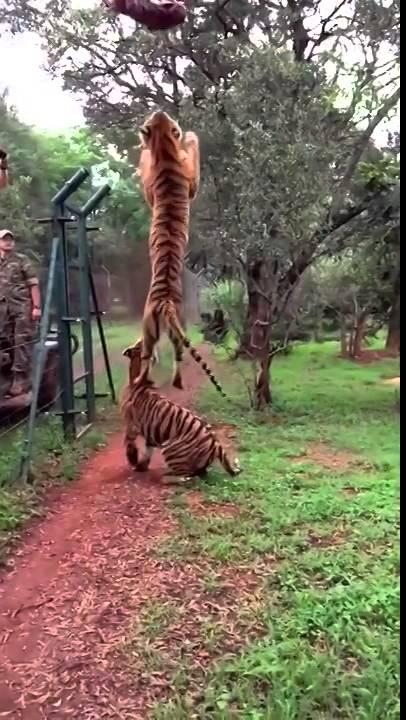 Gambar Loncat Harimau : gambar, loncat, harimau, Harimau, Loncat, YouTube