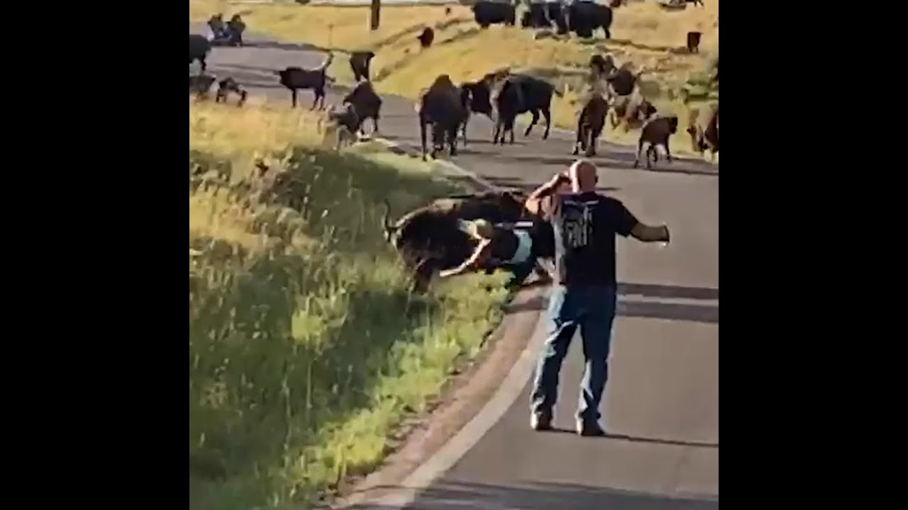 Download A bison violently thrashes a tourist who gets a too close, tearing off her jeans in the process.