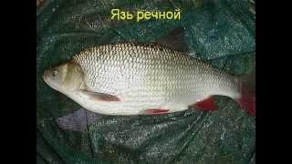 Особенности строения и жизнедеятельности рыб.AVI