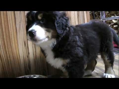 Bernese Mountain Dog Baby 'Hermann' and Fritz the Cat