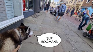 Husky howls at strangers and dogs in public