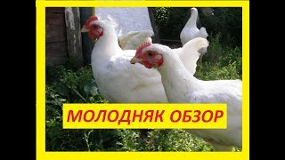 Цыплята Геркулес 2 месяца Содержание и уход за цыплятами