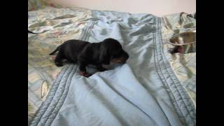 Dackelwelpen - Kaninchendackel Babys
