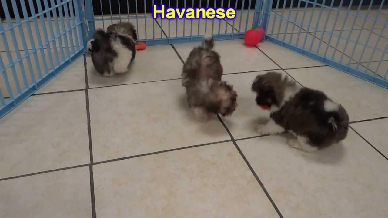 Havanese Puppies For Sale In Wichita Kansas Ks Pittsburg