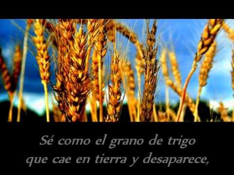 Como el grano de trigo