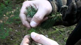 IDENTIFYING THE BALSAM FIR AKA CHRISTMAS TREE FROM THE SPRUCE TREE!