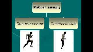 Строение и работа мышц.AVI