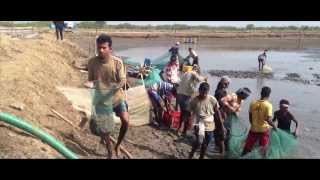 India's best  prawns farming ,& harvesting day  (B&M Farms)
