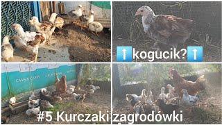#5 Kurczaki Zagrodowe: Kurczaki już dużo podrosły