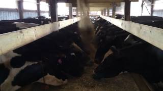 Cows At The Bunk Feeder