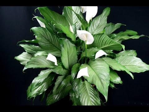 СПАТИФИЛЛУМ размножение ❖❖❖ Цветок ЖЕНСКОЕ СЧАСТЬЕ, размножение делением куста