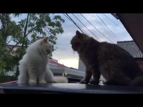 Persia vs angora cat