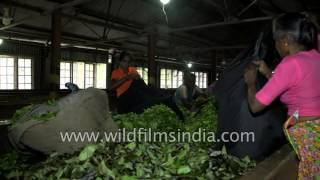 Fresh tea leaves directly from garden for processing