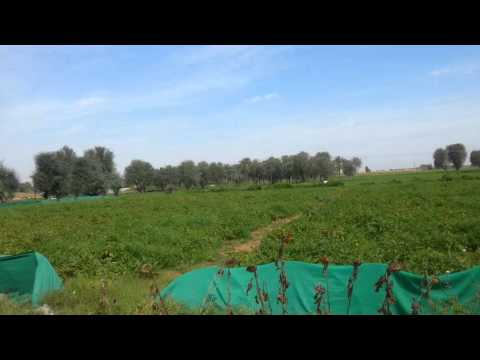 Ras al kaimah vegetable farm uae