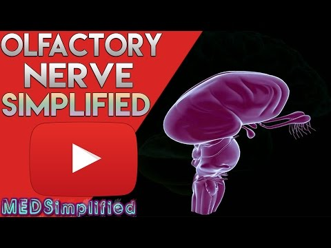 Olfactory Pathway - Nerve and Tracts