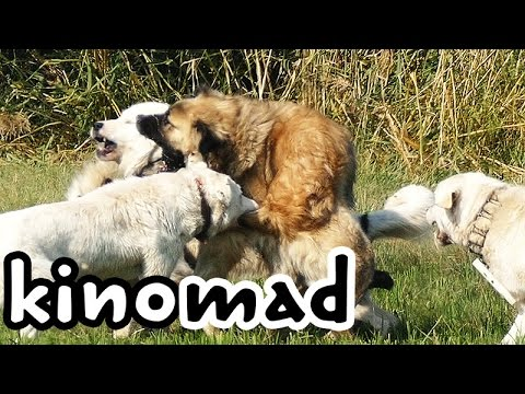 Pack Fight - Ethology of Shepherd Dogs 02. гончих борьба - sürü kavga