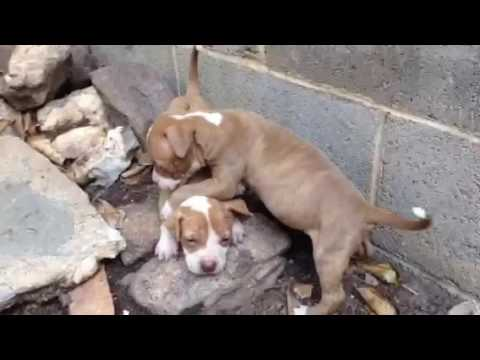 Red Nose Pitbull puppies FULL-blooded, for sale $250, brindle female pit  puppy, pits 706 528 0513