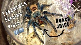 Tarantula Feeding Video #23 ~ Why I don
