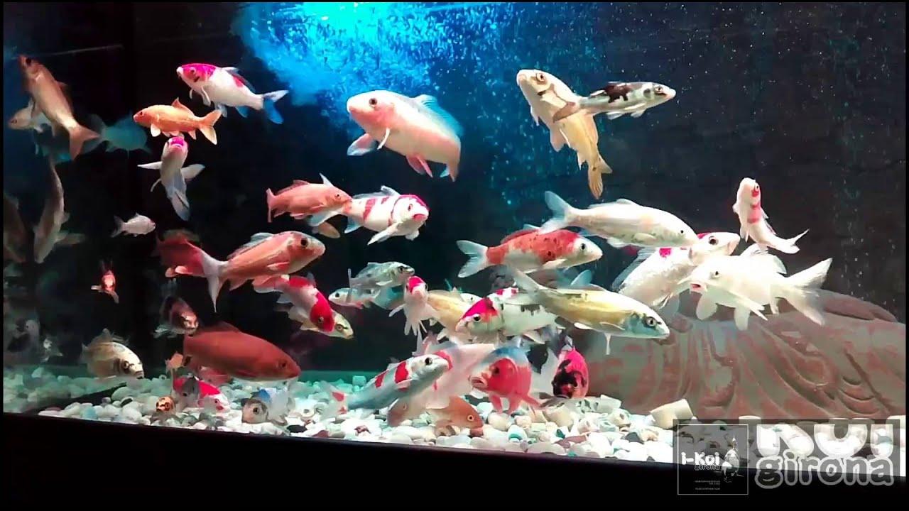 I koi girona enjoy koi in aquarium hd youtube for Koi fish tank setup