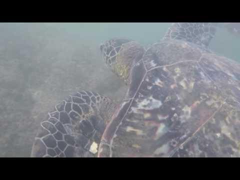 Snorkeling with Sea Turtles. Noelani Condominium Resort. Lahaina, Hawaii.