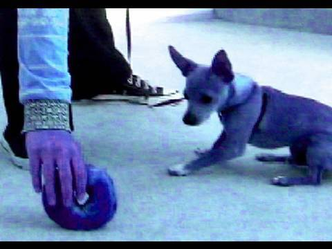 How to teach 'leave it'- without intimidation Dog training tutorial