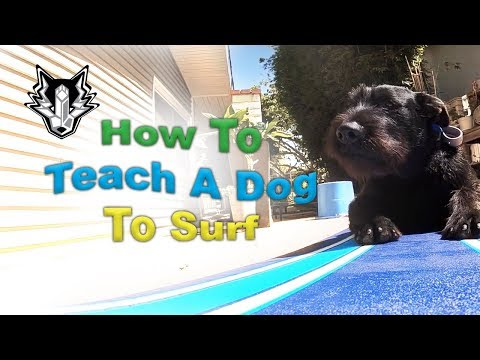 How To Teach A Dog To Surf With 3 Easy Steps! What's The Best Way To Train A Dog To Surf?