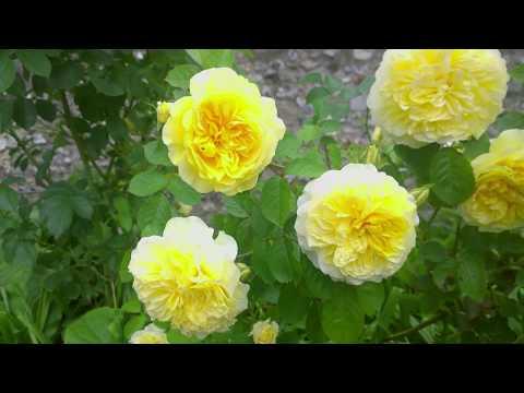 Autumn rose care