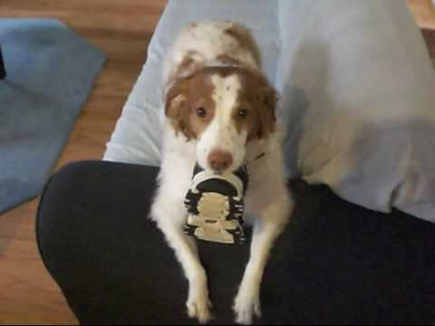 Brittany Spaniel saying hello at the door