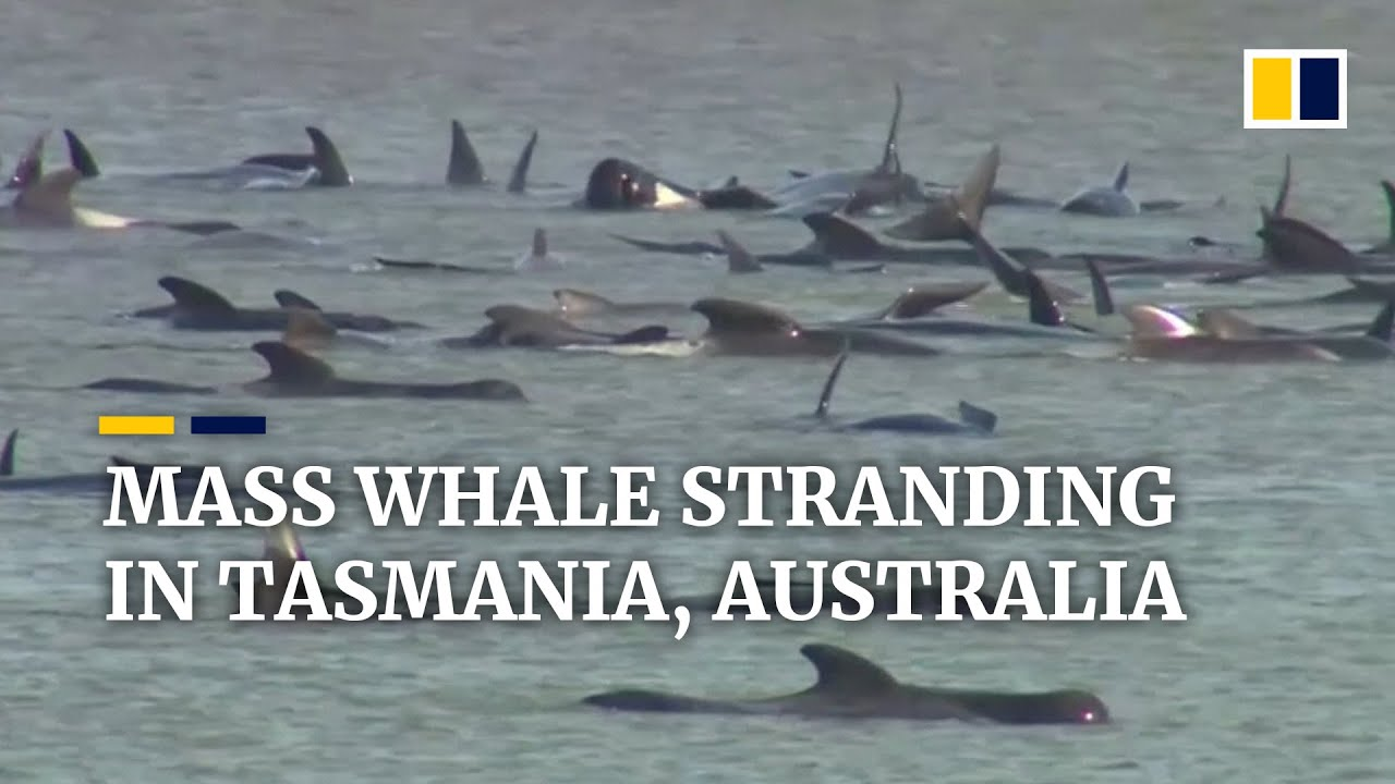 Race to save hundreds of whales in deadly stranding on sandbars off Australian island of Tasmania
