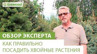 Как правильно посадить хвойное растение(Купить хвойные растения можно здесь http://greensad.ua/category/hvojnye-rastenija/ Хвойные деревья одни из самых популярных..., 2014-05-25T17:37:30.000Z)